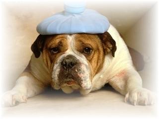 bulldog-with-headache
