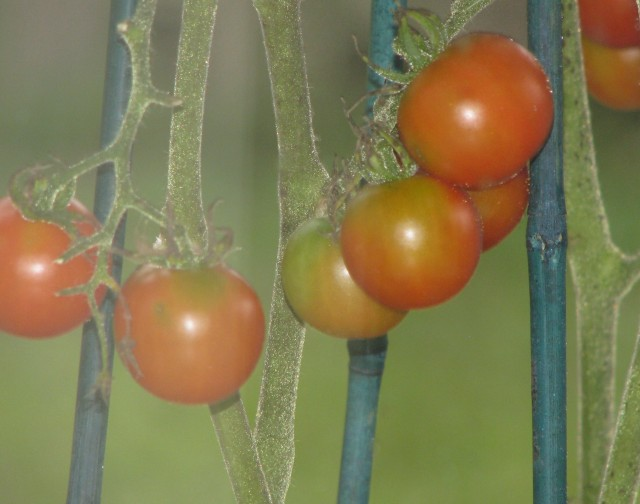 best-tomatoes-2
