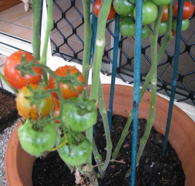 tomatoes-rainwater