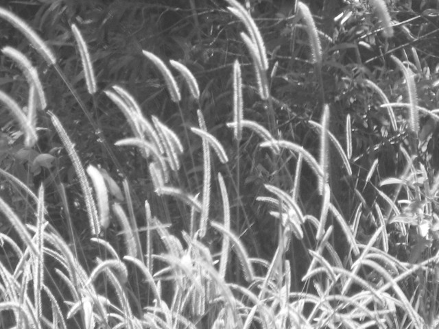 bnw-pussy-willow1