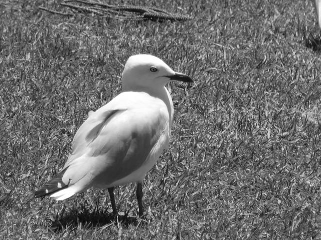 bnw-single-seagull2