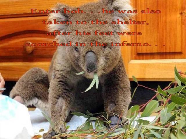 enter-bob-koala