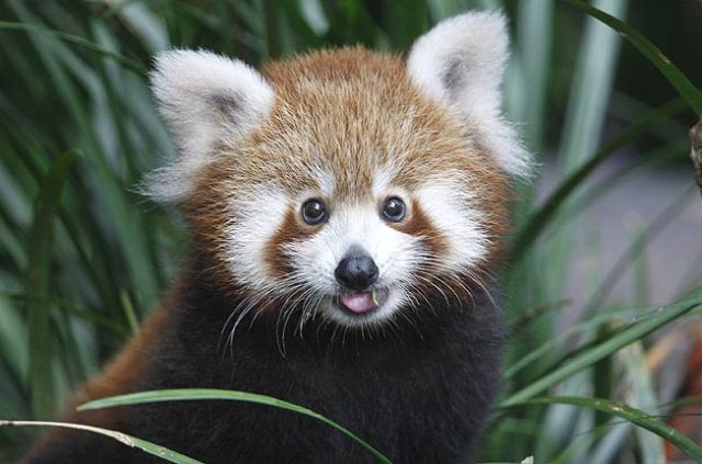 pemab-the-red-panda-at-taronga-zoo