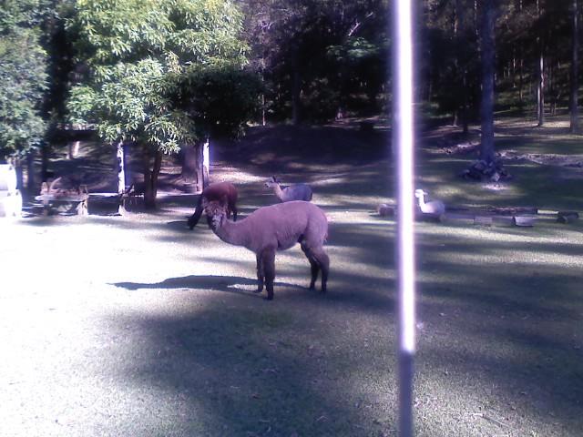alpacas 2